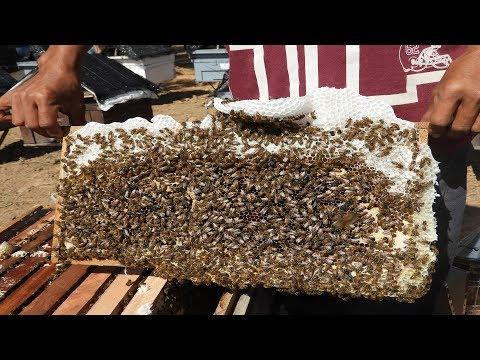 Honey: brood in bees colonies more: Beekeeping in Acacia mangium Willd plantation