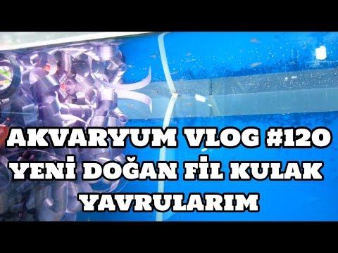 Akvaryum Vlog #120 (Yeni Doğan Fil Kulak Lepistes Yavrularım)