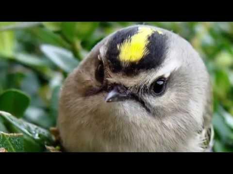 Звуки природы! Королёк. Красивое пение птиц - Голоса птиц