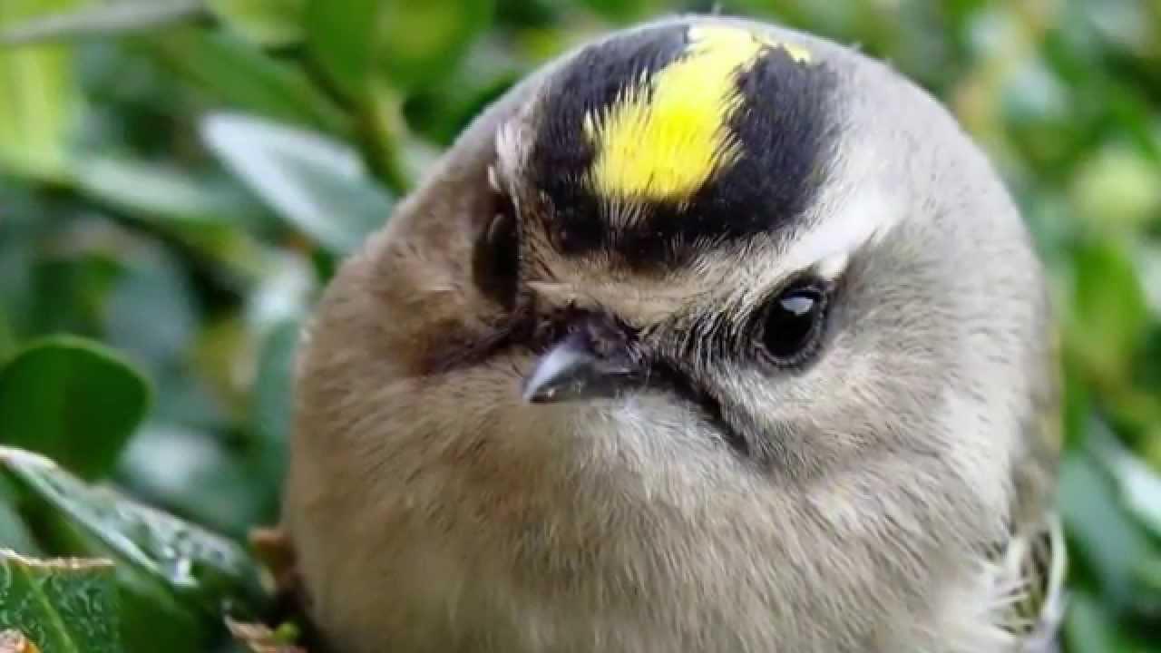 фото птичка королек