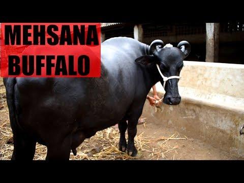 Mehsana Buffalo of Gujarat available in Akola
