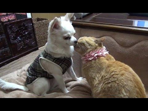【ちょっと胸キュンする 猫とチワワのワンシーン】Cat and Chihuahua of very cute scene