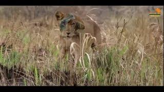 Wild Fauna / Львы на деревьях / Спасение Львицы / Прайд Львов