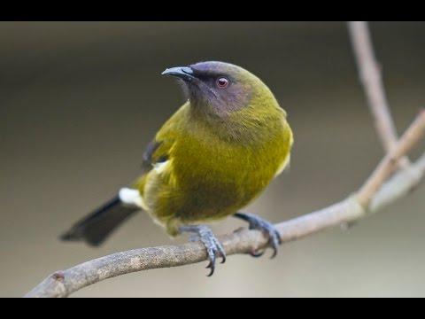 New Zealand Bellbird Song
