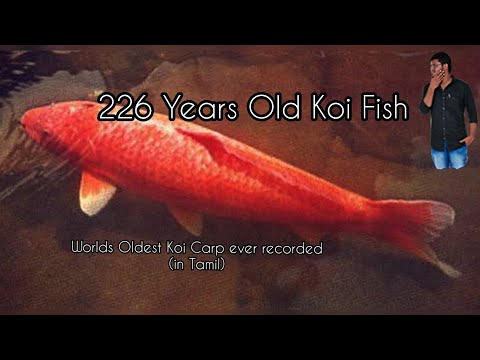 226 Year Old Koi Fish-World's Oldest Koi Fish-Eshwar Gandhi