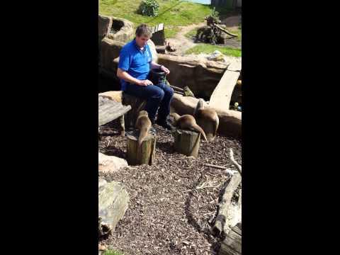 Otters Feeding time @Torquay living Coast