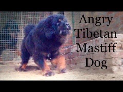 Tibetan mastiff dog in punjab, india | +919417730301