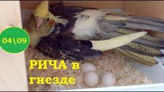 7/4 Корелла на яйцах. Метка на 2яйцо. Агрессия, попугаи кусаются. Освещение клетки лампой. 3-е яйцо