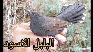 أفضل طائر بلبل مغرد  في العالم . البلبل الأسود