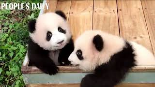 Gimme five! Uplift your spirits with the cuteness of #panda cubs!