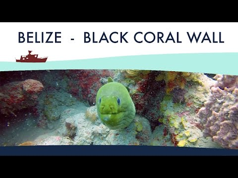 Belize (Turneffe atoll) - Black Coral Wall