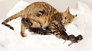 Bengal Cat Giving Birth to 5 Kittens  Beautiful & Emotional