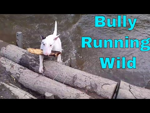 Happy English Bull Terrier - hide and seek fail in the woods
