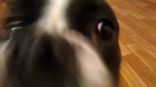 Боксер играет))ооочень злой пес..