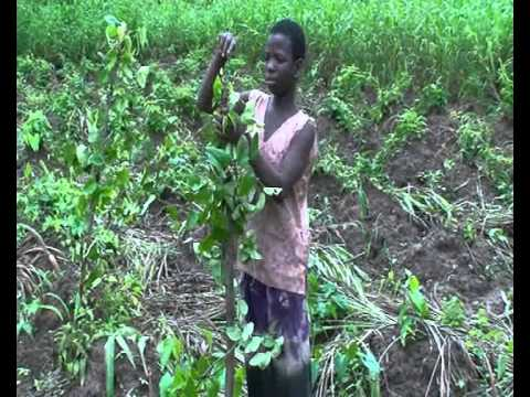 Production videos from Wadep: Yam Production - Nkwanta, Ghana