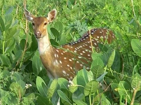 Spotted Deer in Bharatpur national park, Rajasthan