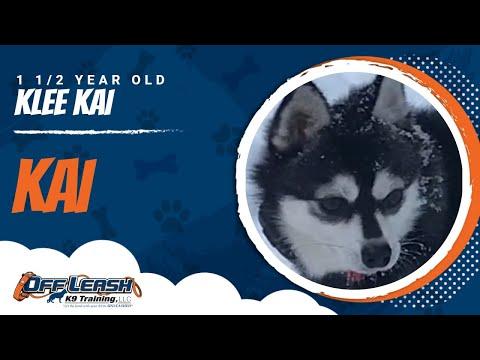 Kai, Klee-kai  socialization Training   small dog trainers Rochester NY