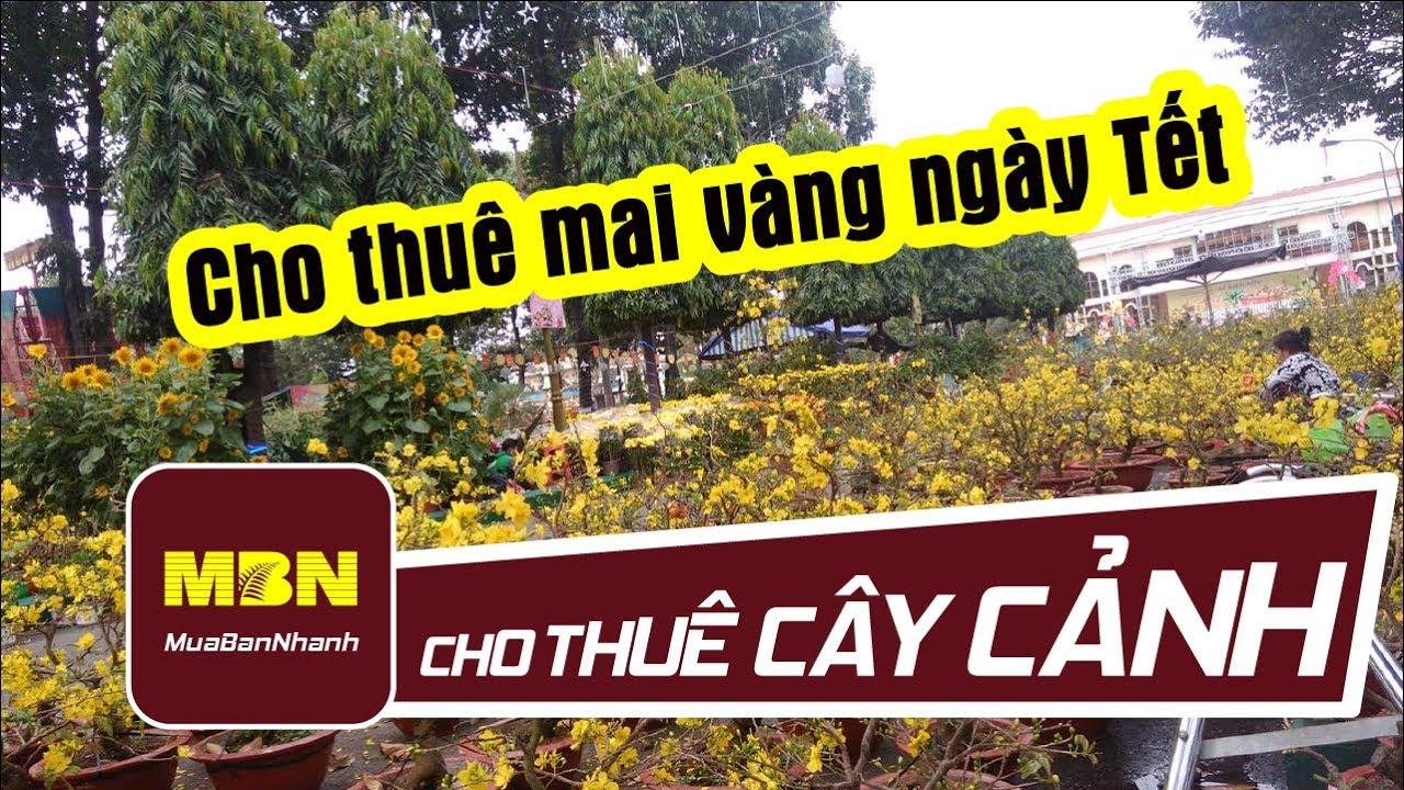 Cho thuê mai vàng ngày Tết | MuaBanNhanh | Cho thuê cây cảnh