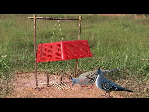 The Best and Very easy Simple Bird Trap Make from Drop Down Plastic Basket
