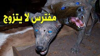 عودة المفترس الغامض  حيوان غريب في الصحراء السعودية (حيوان الشيب)