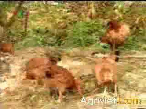 KT nuối gà thả vườn (I)