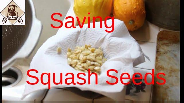 Saving Squash Seeds You