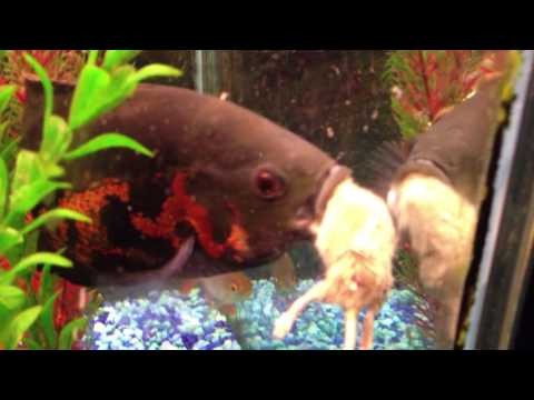 Oscar Fish Destroys 2 Mature Adult Mice  (18 +)
