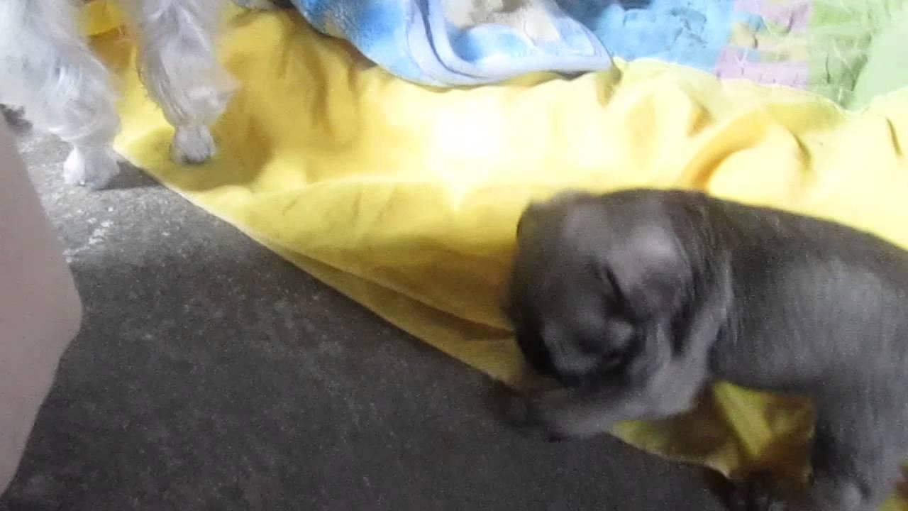 Schnauzer bebe hembra