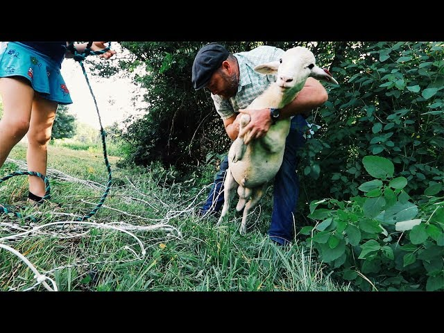 SHEEP Strangled in Electric Fence | HOW?
