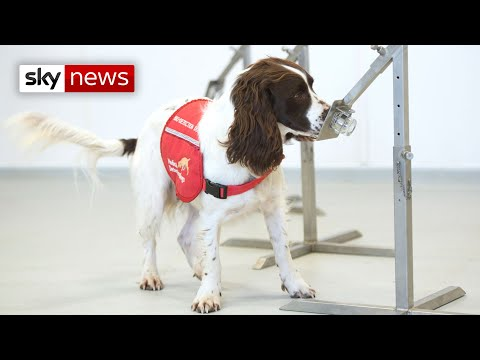 Coronavirus: Dogs trained to sniff out COVID-19