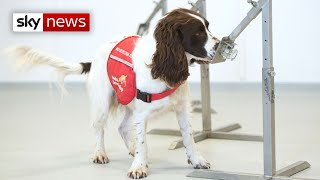 Trials are going ahead to see if dogs could provide a non-invasive way of detecting the coronavirus. six - labradors and cocker spaniels will be given...