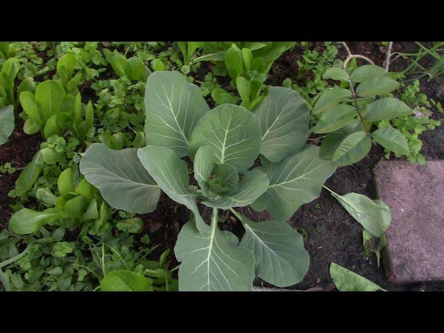NVTC2 20181219 22 24- VƯỜN TƯỢC và ẨM THỰC- gieo cải, dạo quanh nhà, trộn mắm, ăn gà nướng, luột heo