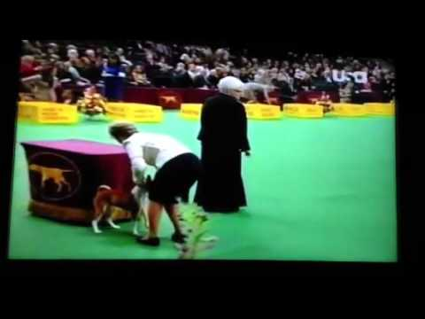 Basenji at the Westminster Kennel Club Dog Show 2012