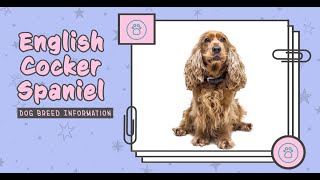 English Cocker Spaniel Dog Breed Information