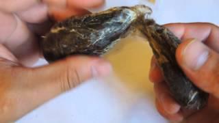 бобровая струя купить для настойки(Внешний вид бобровой струи. Купить бобровую струю можно тут: http://www.struaybobrov.ru/, 2015-08-03T16:35:13.000Z)