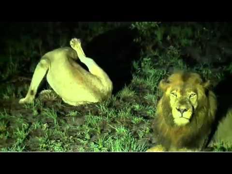 Mar 18 WildEarth Sunrise SafariLIVE Nkuhuma lioness & BBoy, Wild dogs