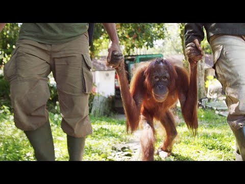 Mother Orangutan Reunites with Infant Daughter from YouTube · Duration:  53 seconds