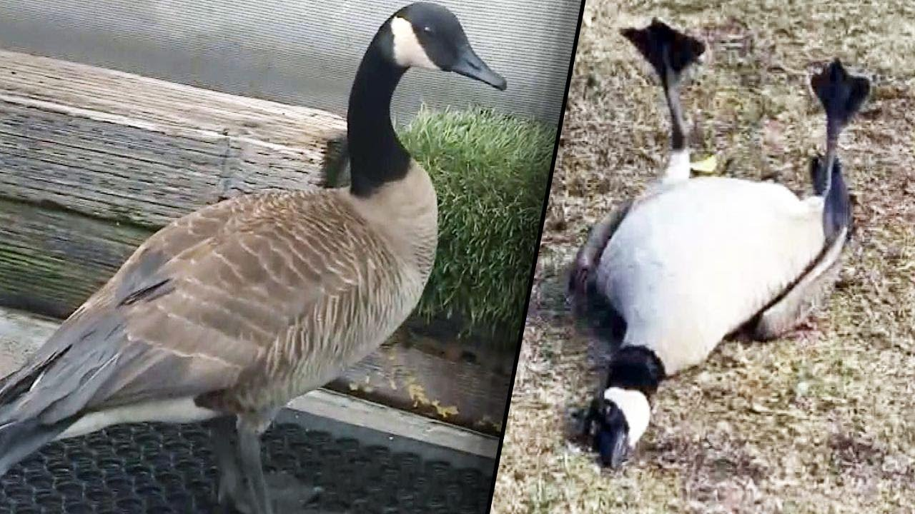 Download Birds Pass Out After Eating Pills Dumped in California Park