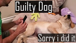 Guilty Dog: Buddy's Funny Guilty Reaction when he Chewed our Remote (Cutest Video of All Time)