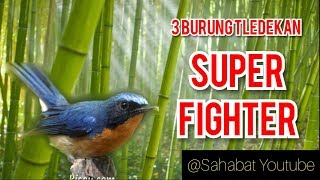 "3 Burung Tledekan _ ""SUPER FIGHTER"""