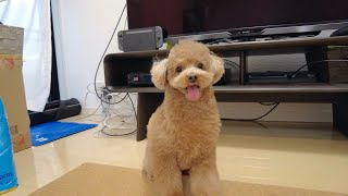[Toy Poodle] Dog So Energetic After Getting a Teddy Bear Cut for the Fisrt Time This Year. LOL