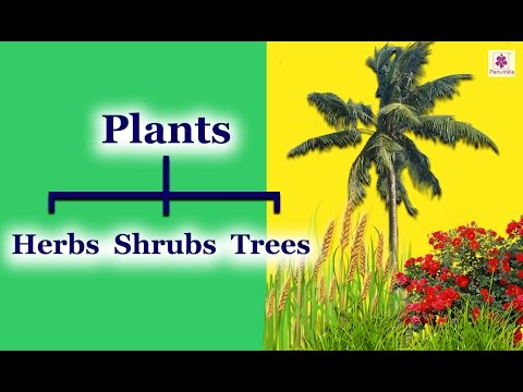 Classification of Plants: Shrubs, Herbs, Climbers & Creepers | Periwinkle
