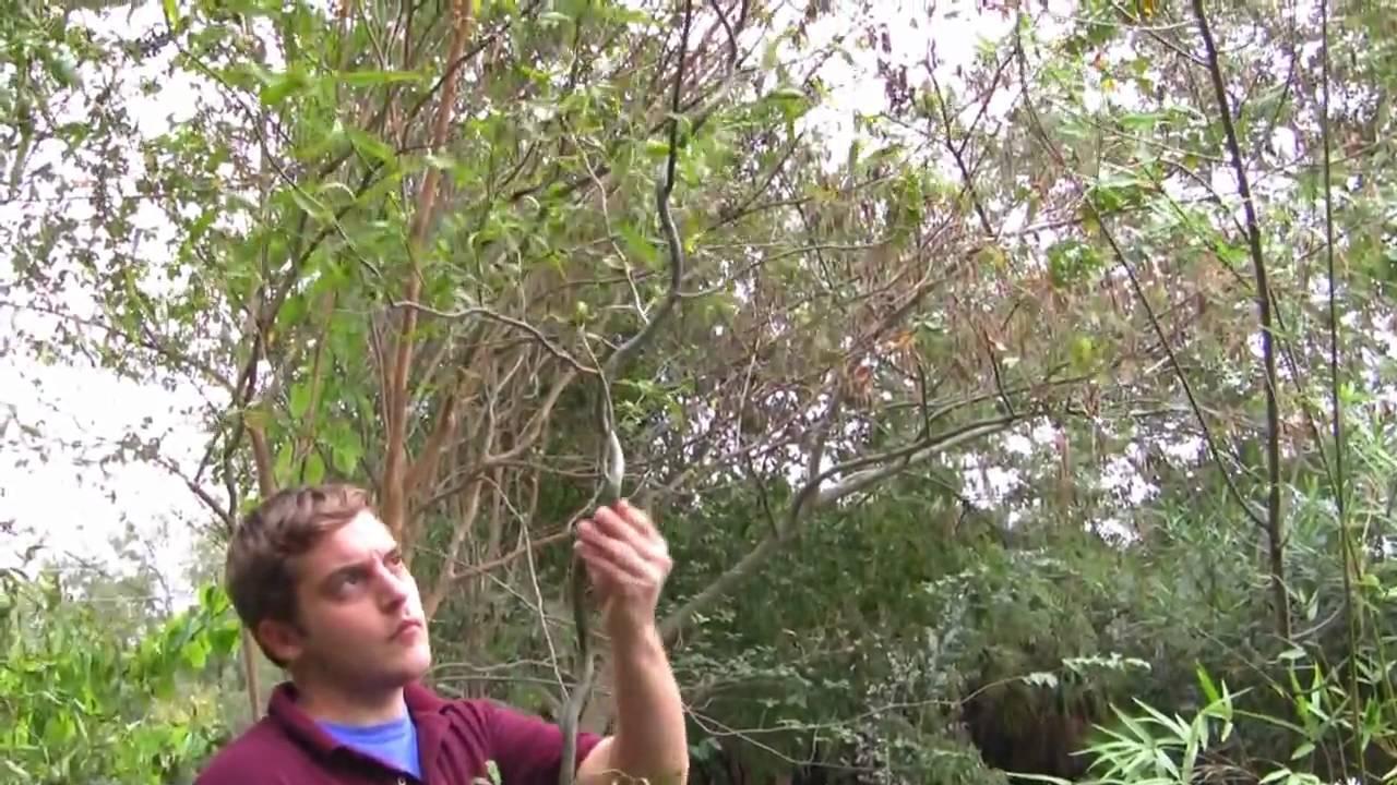 Plant Corkscrew Willow Trees Fast Growing Tree Salix