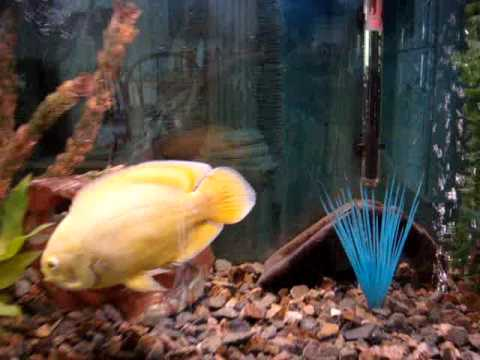 Oscar Fish And Friends In Aquaponics Tank