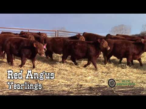 Hill 70 Quantock 2018 Bull Sale