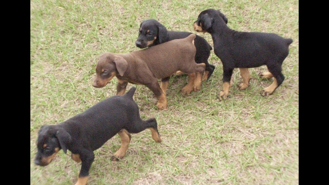 Doberman Pinscher Puppies Dogs For Sale In Virginia Beach