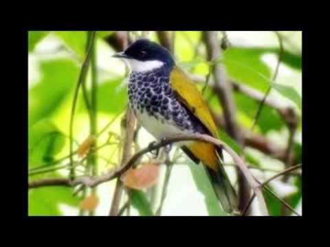 Suara Burung Kutilang mp3 download