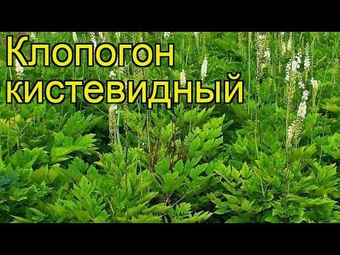 Клопогон кистевидный. Краткий обзор, описание характеристик, где купить саженцы actaea racemosa