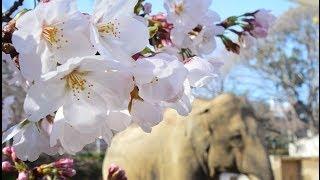 神戸で桜の開花宣言