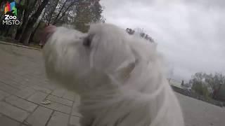 ГоПро и Мальтийская Болонка - Мир глазами собаки / GoPro and Maltese - Go pro dog